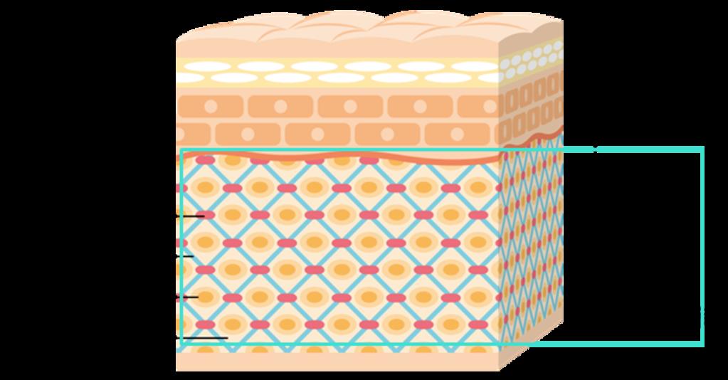 コラーゲン 真皮層